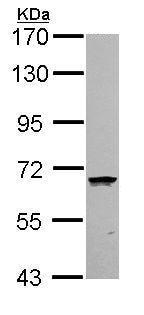 Western blot - Anti-COASY antibody (ab155551)