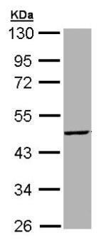 Western blot - Anti-Tpit antibody (ab155554)
