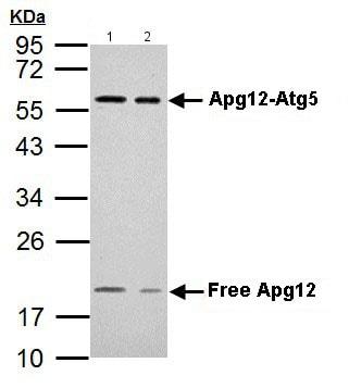 Western blot - Anti-Apg12 antibody (ab155589)