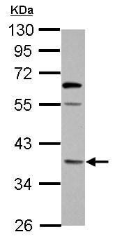 Western blot - Anti-OXNAD1 antibody (ab155598)