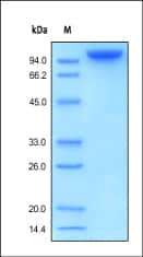 SDS-PAGE - TAG1 protein (Active) (ab155627)