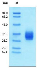 SDS-PAGE - CD147 protein (Active) (ab155636)