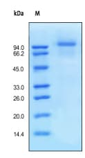 SDS-PAGE - EGFR protein (His tag) (ab155639)