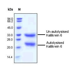 SDS-PAGE - Kallikrein 6 protein (Tagged) (ab155642)
