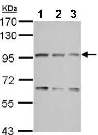 Western blot - Anti-COG3 antibody - N-terminal (ab155685)