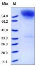 SDS-PAGE - CD10 protein (Fc Chimera) (ab155720)