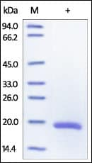 SDS-PAGE - IL33 protein (Active) (ab155721)