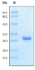 SDS-PAGE - Protein G protein (His tag) (ab155724)
