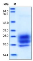SDS-PAGE - IL7 protein (Active) (ab155728)