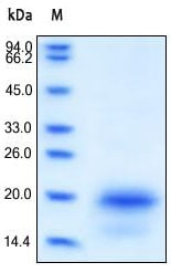 SDS-PAGE - IL4 protein (Active) (ab155733)