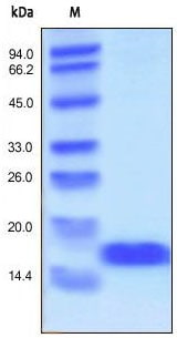 SDS-PAGE - FGF basic protein (Active) (ab155734)