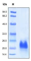 SDS-PAGE - VEGFC protein (Active) (ab155739)