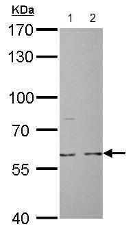 Western blot - Anti-Cdc6 antibody (ab155759)