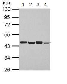 Western blot - Anti-PSMD6 antibody (ab155761)