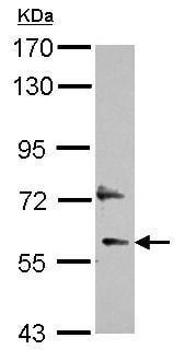 Western blot - Anti-LOC91614 antibody (ab155769)