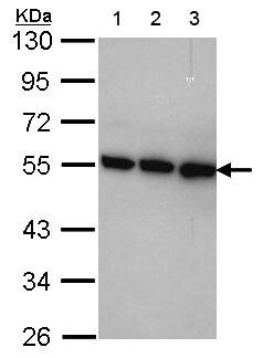 Western blot - Anti-TRIP15 antibody (ab155774)