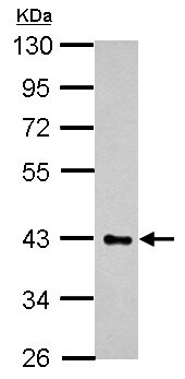 Western blot - Anti-HS3ST2 antibody (ab155777)