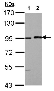 Western blot - Anti-MAML1 antibody - N-terminal (ab155786)
