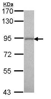 Western blot - Anti-GOLGA5 antibody (ab155806)