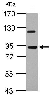Western blot - Anti-KIAA0317 antibody - N-terminal (ab155906)