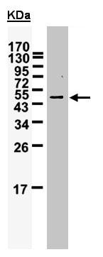 Western blot - Anti-WTAP antibody (ab155924)