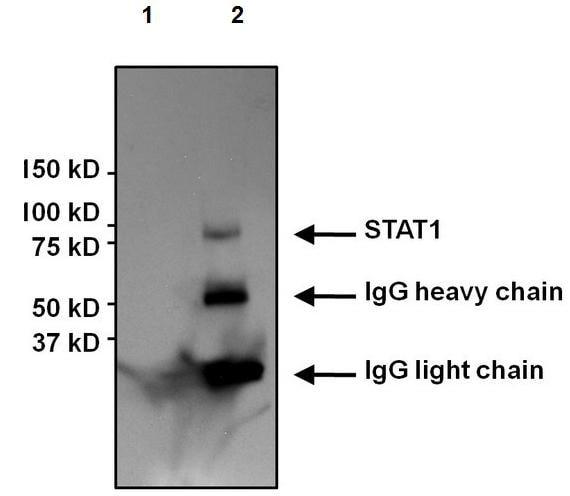 Immunoprecipitation - Anti-STAT1 antibody [15H3] (ab155933)