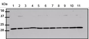 Western blot - Anti-CDC42 antibody (ab155940)