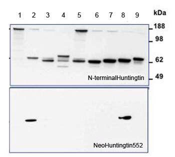 Western blot - Anti-Huntingtin antibody (ab155942)