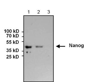 Western blot - Anti-Nanog antibody (ab155943)