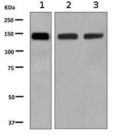 Western blot - Anti-BTF antibody [EPR9981] (ab155965)