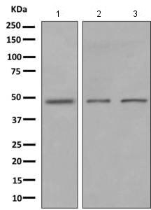 Western blot - Anti-GPR 139 antibody [EPR10766] (ab155983)