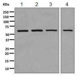 Western blot - Anti-HUCE1 antibody [EPR10645(B)] (ab155989)