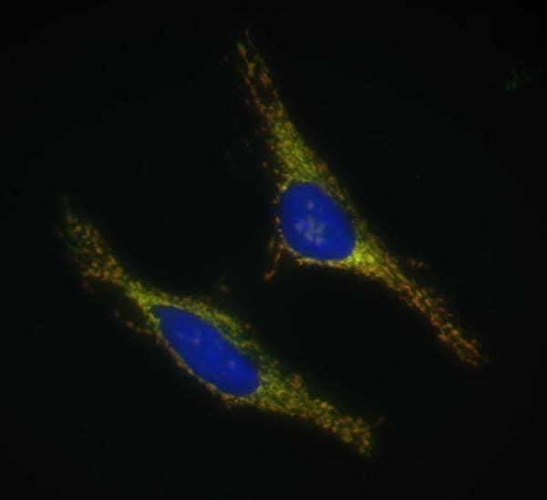 Immunocytochemistry/ Immunofluorescence - Anti-Cyclophilin F antibody [E11AE12BD4] (Alexa Fluor® 488) (ab156032)