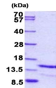 SDS-PAGE - Galanin protein (His tag) (ab156331)