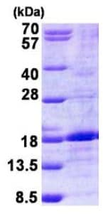 SDS-PAGE - BMP6 protein (His tag) (ab156340)