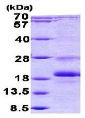 SDS-PAGE - Id1 protein (His tag) (ab156341)