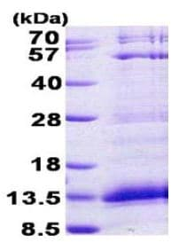 SDS-PAGE - PF4 protein (His tag) (ab156343)