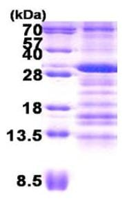 SDS-PAGE - Use1 protein (His tag) (ab156344)