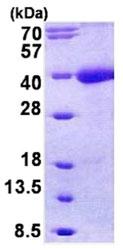 SDS-PAGE - Tomoregulin-1 precursor protein (His tag) (ab156353)