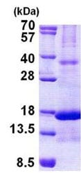 SDS-PAGE - Chemerin protein (His tag) (ab156357)