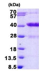SDS-PAGE - MARCKS like protein  (His tag) (ab156359)