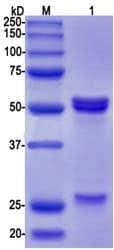 Western blot - Anti-Tau (phospho S396) antibody [EPR2731] - BSA and Azide free (ab156623)