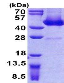 Sandwich ELISA - FLJ11506 protein (His tag) (ab156725)