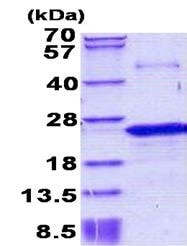 SDS-PAGE - Nociceptin protein (His tag) (ab156732)
