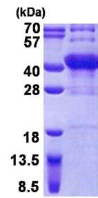 SDS-PAGE - POU6F1 protein (His tag) (ab156736)