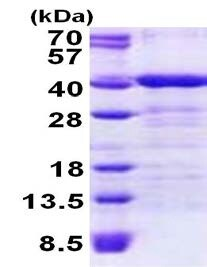 SDS-PAGE - TOMM34 protein (His tag) (ab156737)