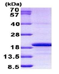 SDS-PAGE - Histone H3.3 protein (His tag) (ab156960)