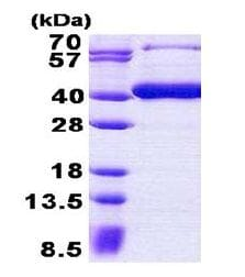 SDS-PAGE - B3GAT3 protein (His tag) (ab156962)
