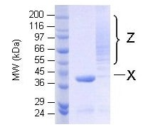 SDS-PAGE - Ubiquitin K63 only protein (Active) (ab157056)