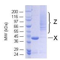 SDS-PAGE - Ubiquitin K33 only protein (Active) (ab157076)